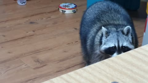 Raccoon cries outside the door and comes in and drinks water.