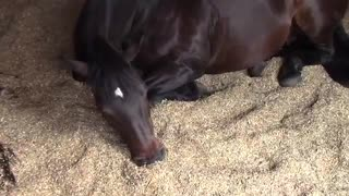 A Couple of Horses Sit in a Stable Lounging About While Snoring and Passing Gas to Themselves - Video