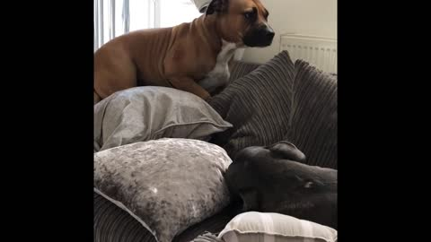 Rescue dog builds fortress