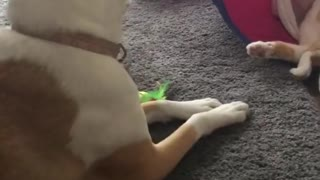 Small Kitten Playing with Dogy - Video
