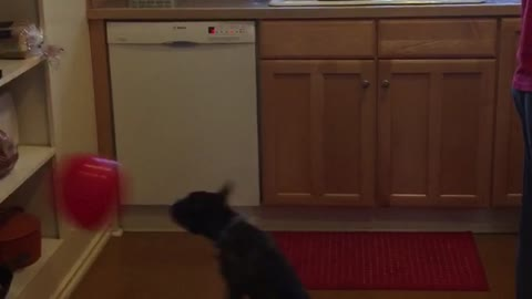 French Bulldog keeps balloon from touching ground
