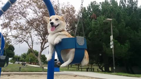 Pembroke Welsh Corgi swinging at the playground