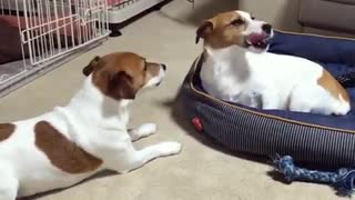 Dog steals sibling's bed, totally unfazed by angry barking