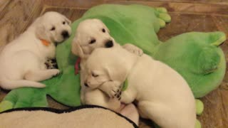 Lab puppies playing - Video
