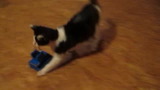 Cat drags toy across the room - Video