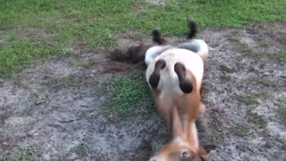 Miniature Horse With Itchy Skin Creates Chaos In The Backyard - Video