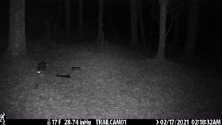 Raccoon roaming around 2-17-21