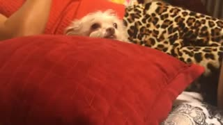 Girl laughs at white furry dog on red pillow