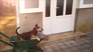 Dog loves to go for wheelbarrow rides - Video