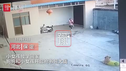 A golden retriever from Hebei robbed the young master's schoolbag