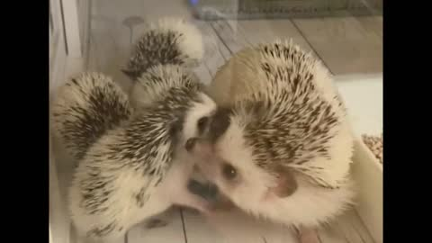 The Hedgehog Mother And Her Children in The living place