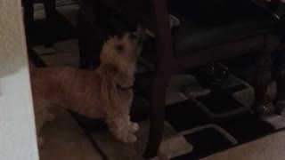 Golden dog pulls stuffed animal from brown chair  - Video