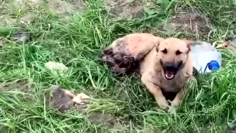 Pooch With Hind Legs Chopped Off Saved By Rescuers