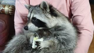 Raccoon tastes healthy cabbage, immediately spits it out