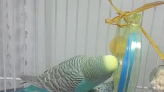 Clever parakeet solves double knot obstacle - Video