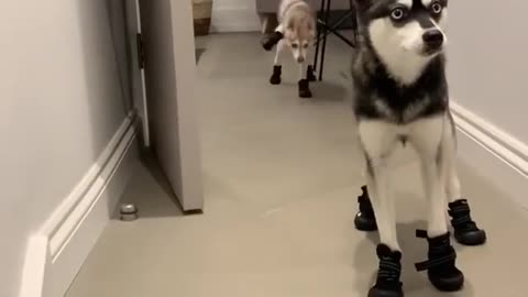 this husky wearing a shoe for the first time