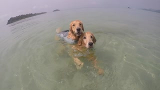 Lazy Dog Tired Of Swimming Hitches A Ride On Buddy's Back - Video