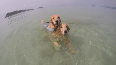 Lazy Dog Tired Of Swimming Hitches A Ride On Buddy's Back