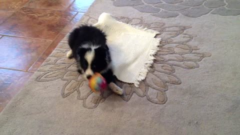 The Most Adorable Border Collie in the World
