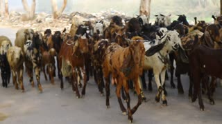 goats and Goats every where on the Road with One Dog for Security of these Goats   - Video
