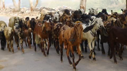 goats and Goats every where on the Road with One Dog for Security of these Goats