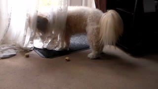 Dog playing with a treat has curtain problems - Video