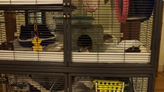 Pet rats hearing bowls in the kitchen