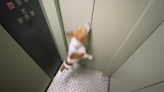 Jack Russel dog ijumps trying to escape from the elevator