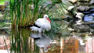 The beautiful white stork walks on the river bank