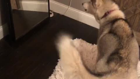 Confused husky barks at reflection in mirror