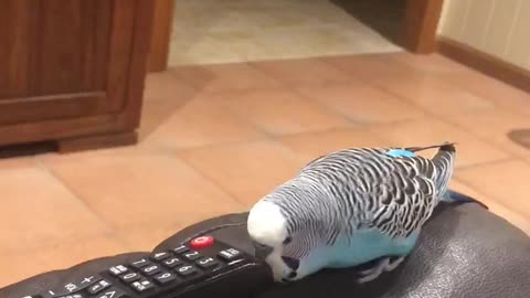 Budgie's new best friend is the remote control