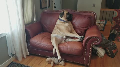 Giant Dog Loves Sitting on the Couch like a Person