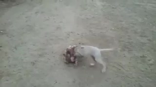 Two small dog fighting .. sooooo cute