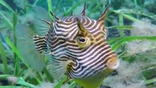 Curious Cowfish Swims by Diver