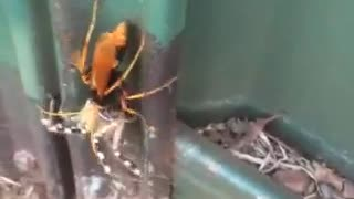 Tarantula vs Hornet - Video
