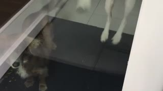 White dog jumping from window to window