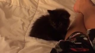 Small black kitten pounces owner on bed  - Video