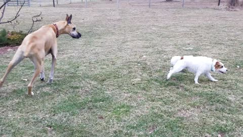 Puppy Takes Lead In Lively Game With Three Huge Danes