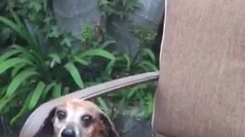 Old Dachshund Begs For Food And Wine At Dinner Party