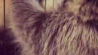 Ferret vs raccoon  - Video