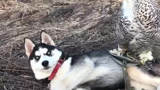 Amazing animal friendships: Owl and husky - Video