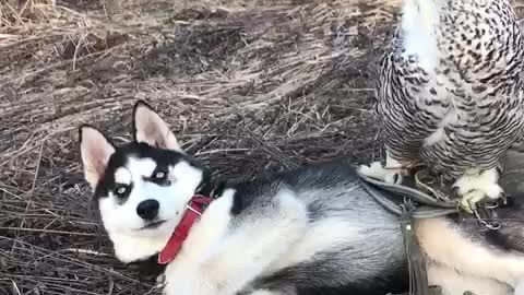 Amazing animal friendships: Owl and husky