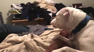 Howling pit bull sings along to harmonica