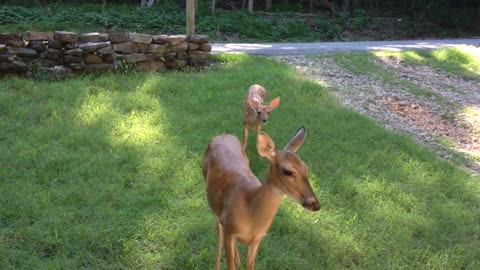 Mama deer brings her fawn for quick snack