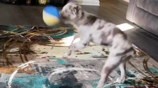 Energetic puppy spins in a perfect circle while playing indoors