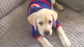 Puppy in captain america hoodie