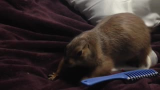 Silly prairie dog helps owner make the bed