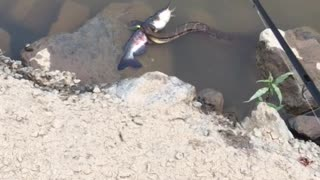 Neature! Snake eating fish video  - Video