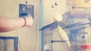 My Cute Cockatiel doing BiG EAGLE Trick  - Video