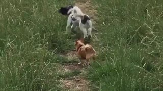 Dogs Playing Fetch OutDoors - Video